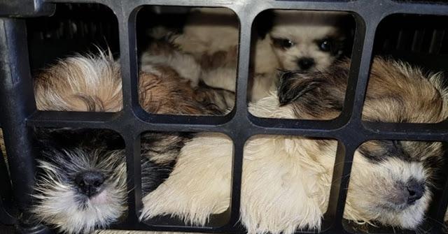 Filhotes de Shih Tzu em situação de maus-tratos são resgatados em bagageiro de ônibus na Bahia; VÍDEO