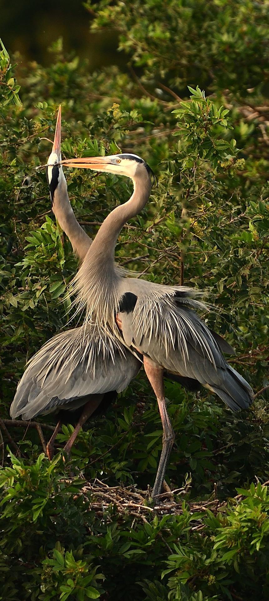 Herons mating.