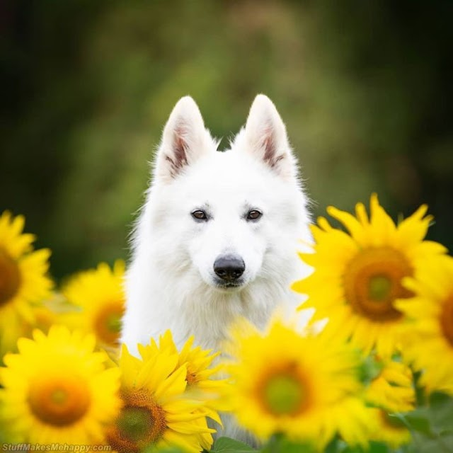 Dogs Sunflowers Pictures - Beautiful White Swiss Shepherd Dogs Photography