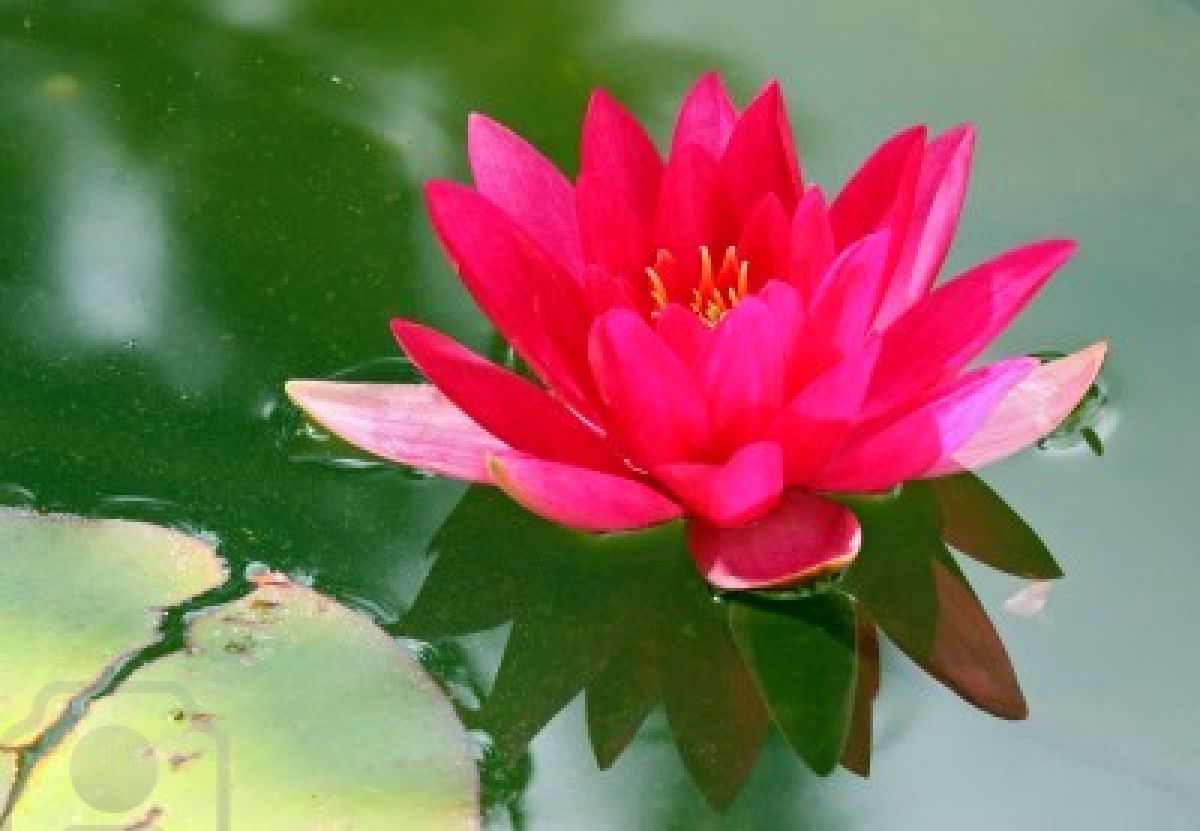 A Red Lotus Flower In Blossom Against Green Foliage
