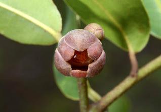 นมแมวแดง (Uvaria argentea) ผลไม้ป่า, พืชที่กินได้, ไม้ประดับ