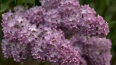 Syringa: las lilas o lilos tienen que volver al jardín