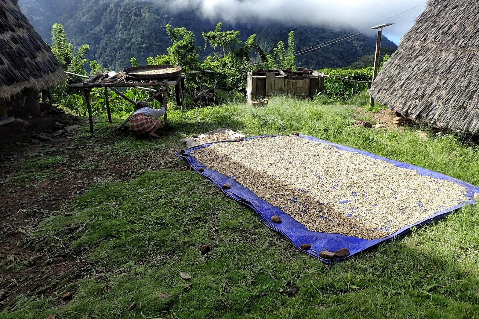 Penduduk Waerebo menjemur kopi di halaman rumah