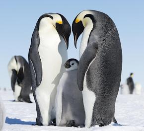 Императорские пингвины фото