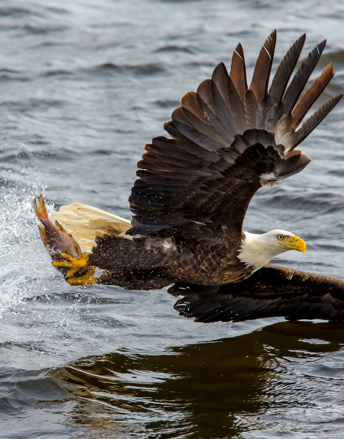 A bald eagle fishing.
