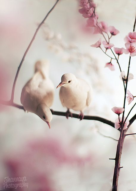 Beautiful doves perched on spring cherry blossom branches