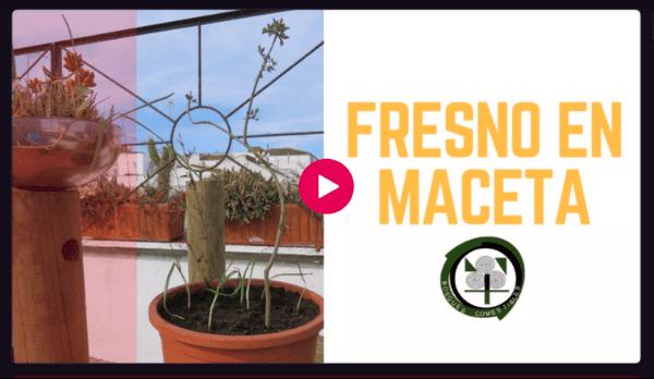 Cómo plantar un fresno en maceta