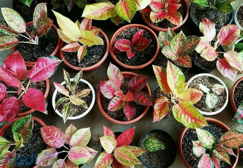 tanaman hias aglonema dikenal juga dengan nama aglaonema