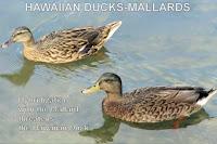 Hawaiian ducks-mallards, Ala Moana Park, Oahu - © Denise Motard