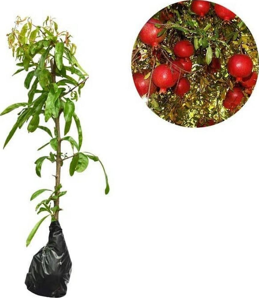 DELIFMART Bibit Buah Delima Merah Red Pomegranate Fruit Seeds Jawa Tengah