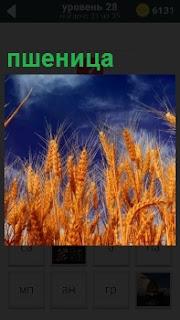 Под голубым небом поднялись спелые колосья пшеницы на поле, которые можно собирать
