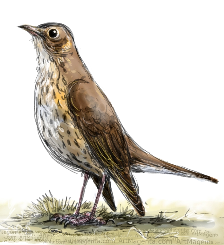 Song Thrush sketch painting. Bird art drawing by illustrator Artmagenta
