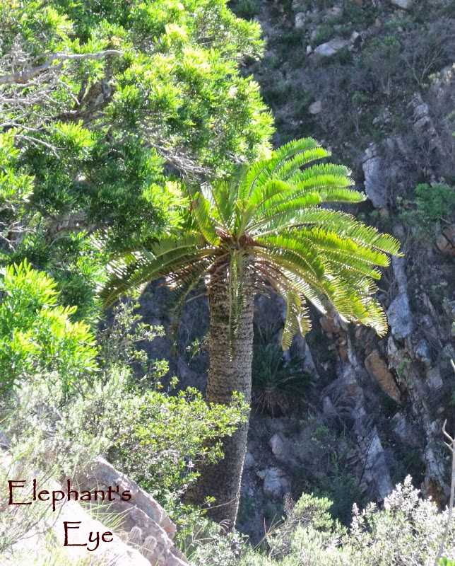 Cycad at Zuurberg