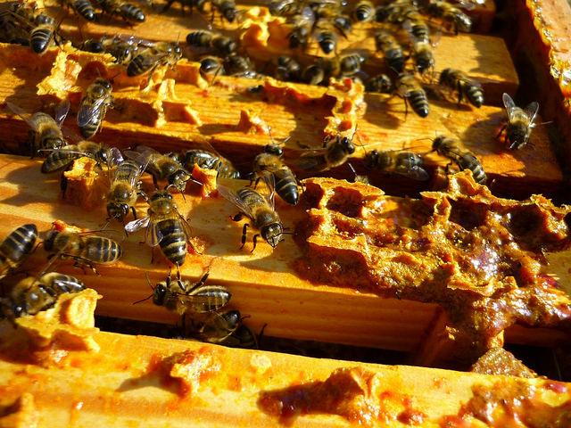 Air Liur Lebah (Propolis) Adalah Zat Antibotik Ajaib Penyembuh berbagai Macam Penyakit