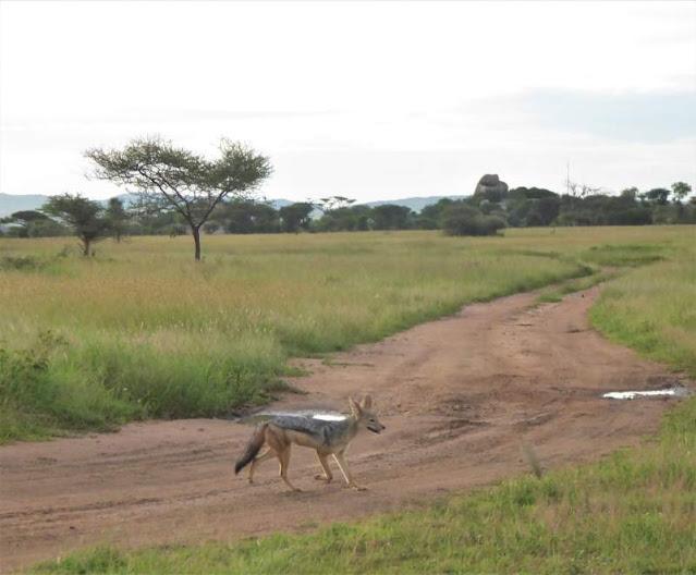 sciacallo dorato serengeti