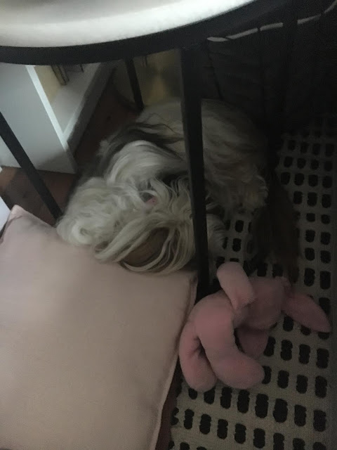 Chanel asleep under my table