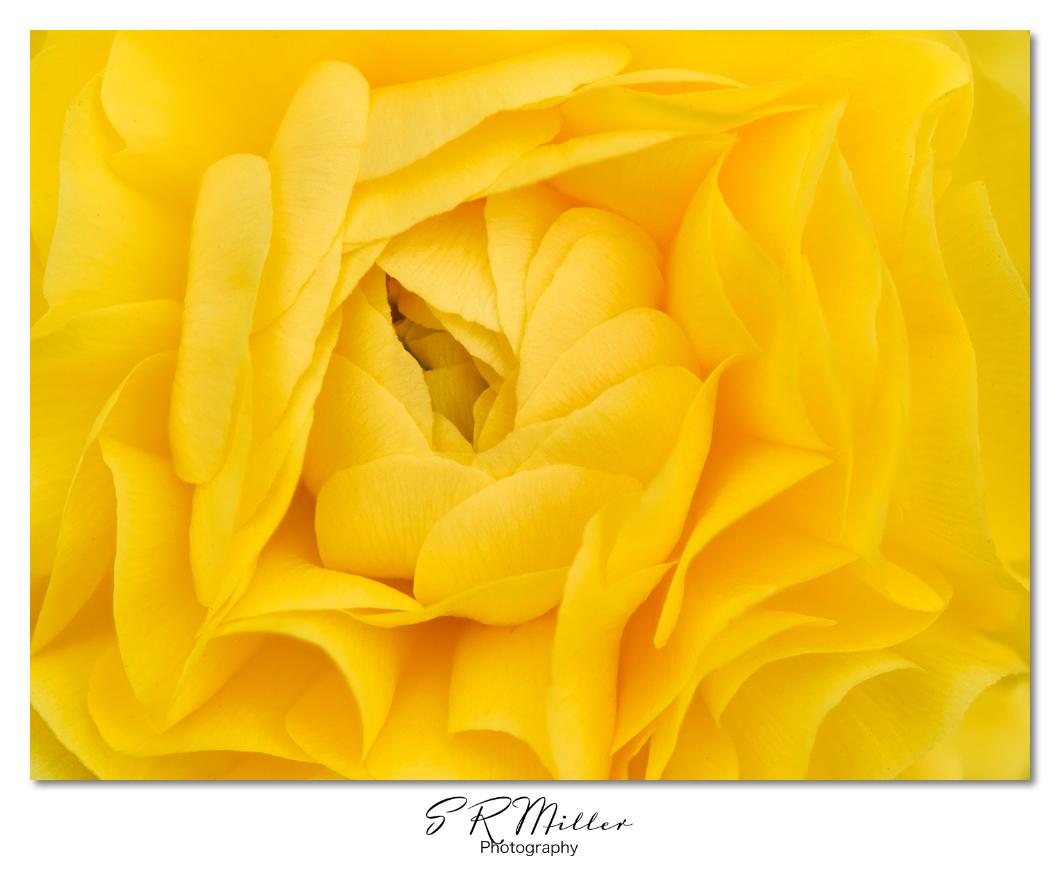 Persian Buttercup flowerclose-up