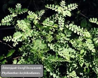 Phyllanthus kozhikodianus plants.