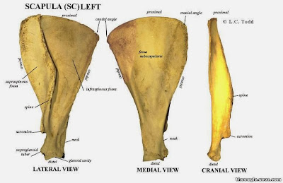 veterinary online: Anatomy : Scapula Of Horse