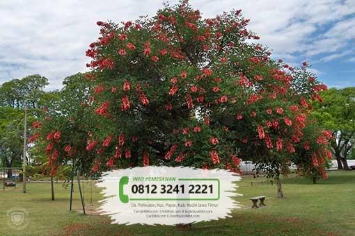 Jual Bibit Pohon Dadap Merah