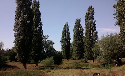 Coe's Fen & Lombardy Poplar Trees In Cambridge In Cambridgeshire In UK Travel Blog