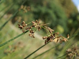 Scirpe des lacs - Jonc des tonneliers - Schoenoplectus lacustris - Scirpus lacustris