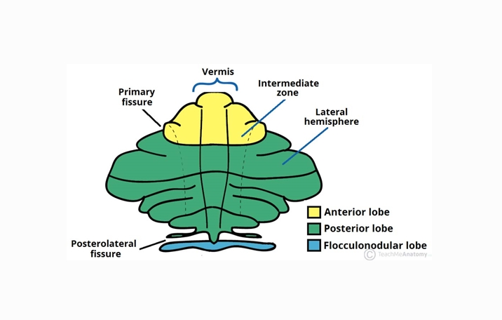 Otak Kecil (Cerebellum) : Pengertian, Struktur, Fungsi ...