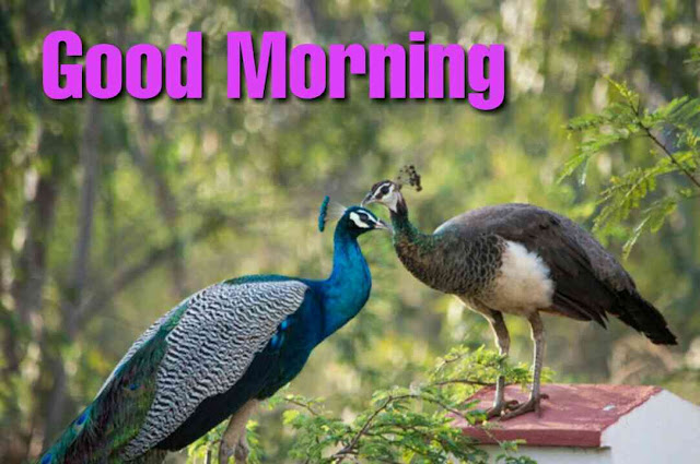 Good morning with peacock hd images