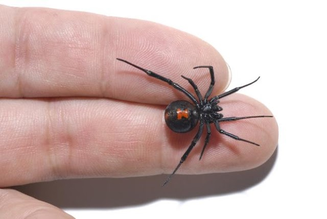 Man Free Handles Black Widow Spider to Prove They Are Not Out to Bite You