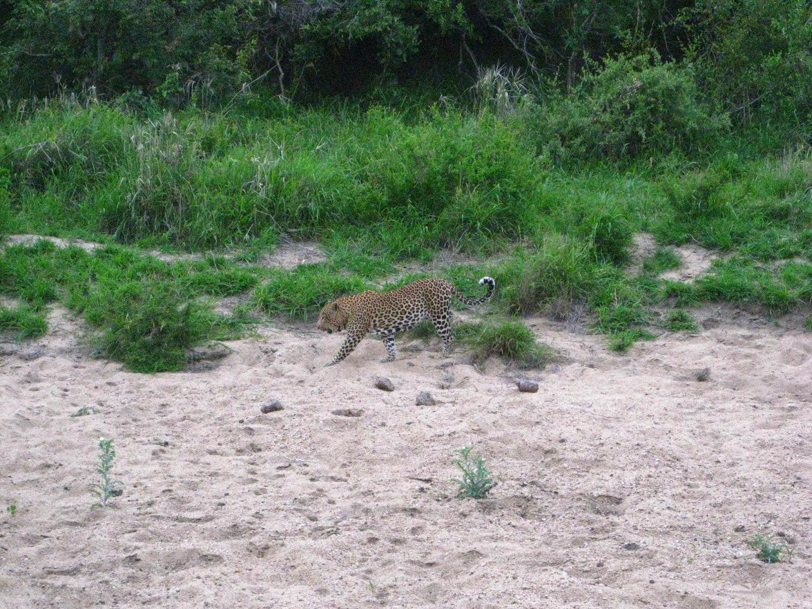 Sabi Sands - We tracked a male leopard along a dry creek bed
