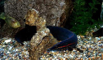 Habitat Ikan Sili Api