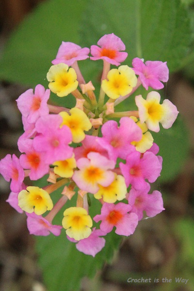 photography, flowers, lantana, l. camara