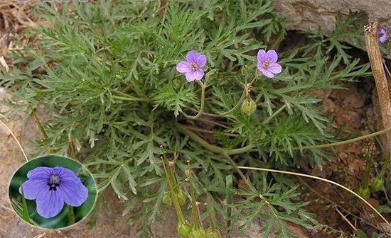 Erodium stephanianum