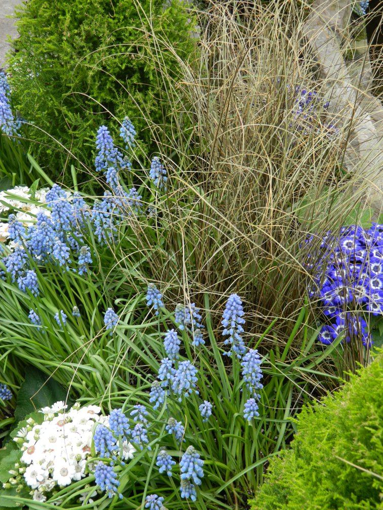 Toronto Allan Gardens Conservatory Spring Flower Show 2013 showing light blue grape hyacinths, brown sedge and lime green cypress by garden muses: a Toronto gardening blog