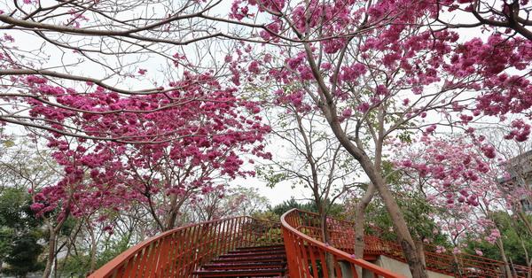 台中北屯|三甲公園|洋紅風鈴木盛開|還能走天空之橋賞花