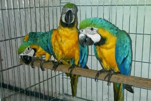Tips for Good and True Macaw Bird Care