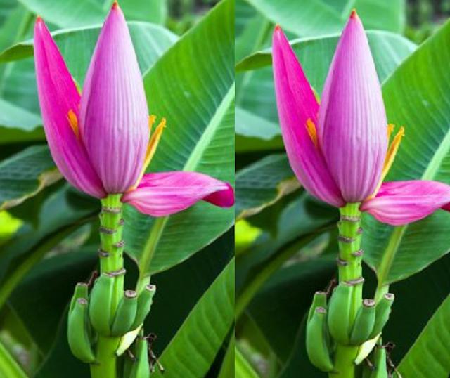 Mochar Chop (Banana Flower Croquettes)