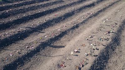 強く乾燥中のイチゴの畝