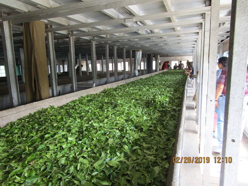 Munnar Tea Leaves Processing