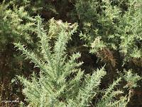 Thorny shrub, Southern Alps - South Island, New Zealand