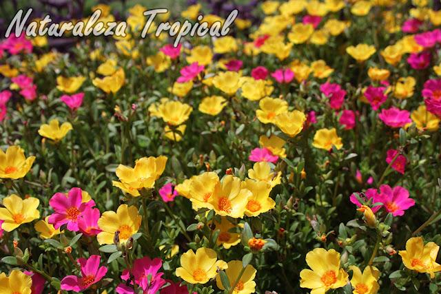 Variedad de colores de las flores de la Verdolaga, Portulaca umbraticola
