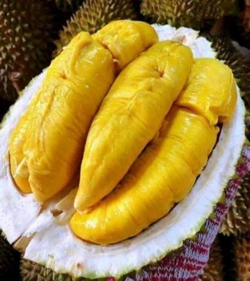 Bibit Durian Musangking Kaki 3 Super Hasil Okulasi Berkualitas Cepat Berbuah Terlaris Tegal