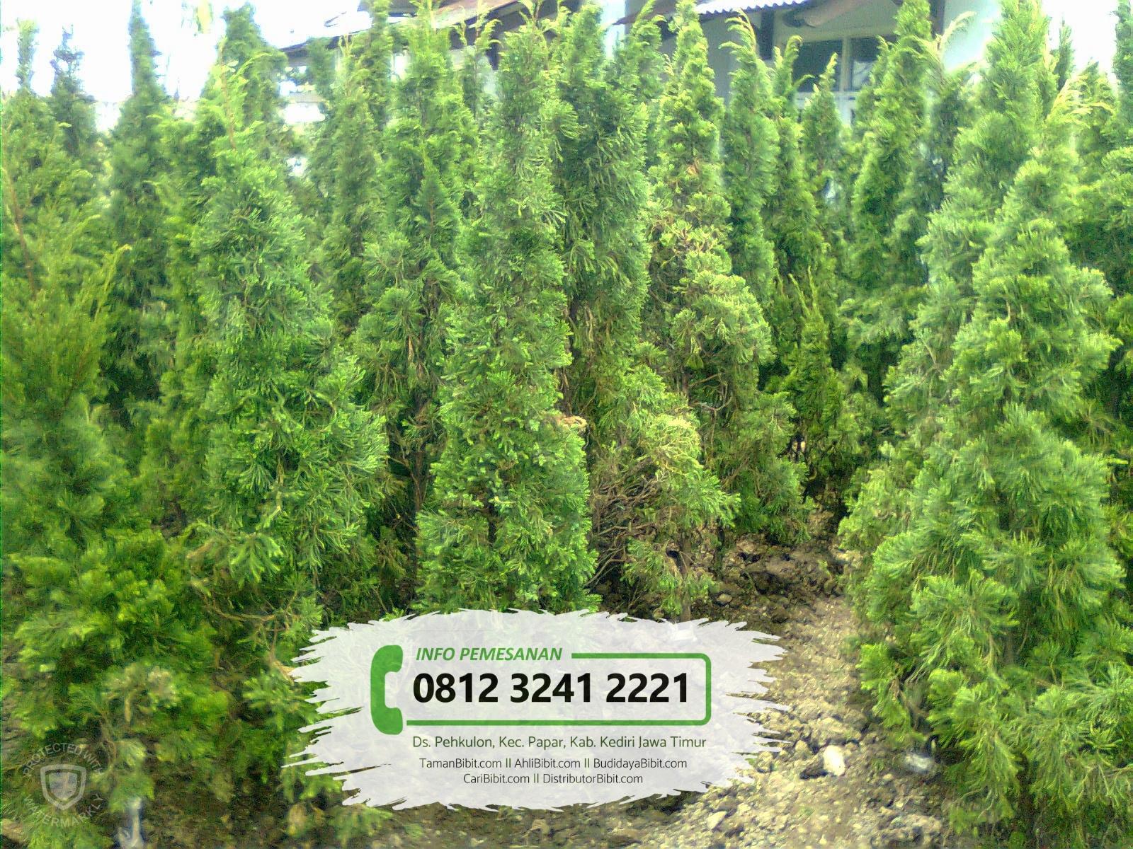 Jual Benih / Biji Pohon Cemara Papua