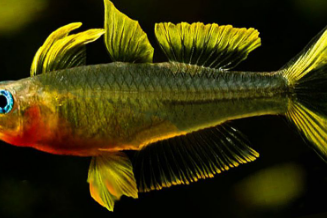 IKAN HIAS FORKTAIL RAINBOWFISH