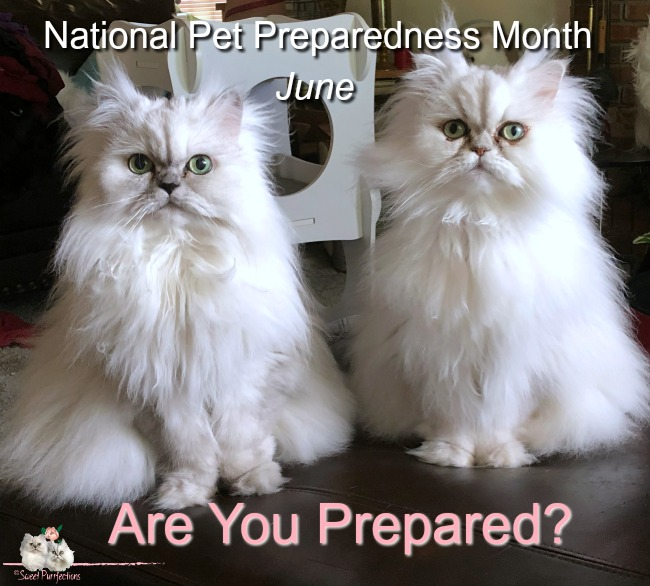 two silver shaded persian cats