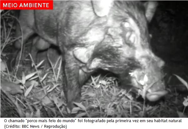 """""""Porco mais feio do mundo"""" é fotografado pela primeira vez"""