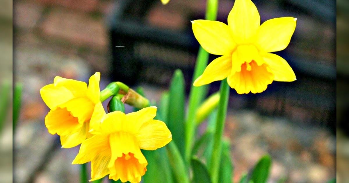 daffodil day - photo #43