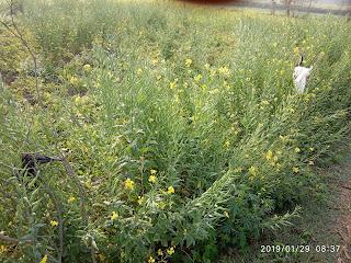 Wheat Plant 2315