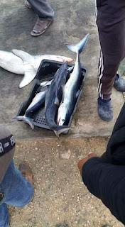 اصطياد عدد كبير من سمك قرش  صور