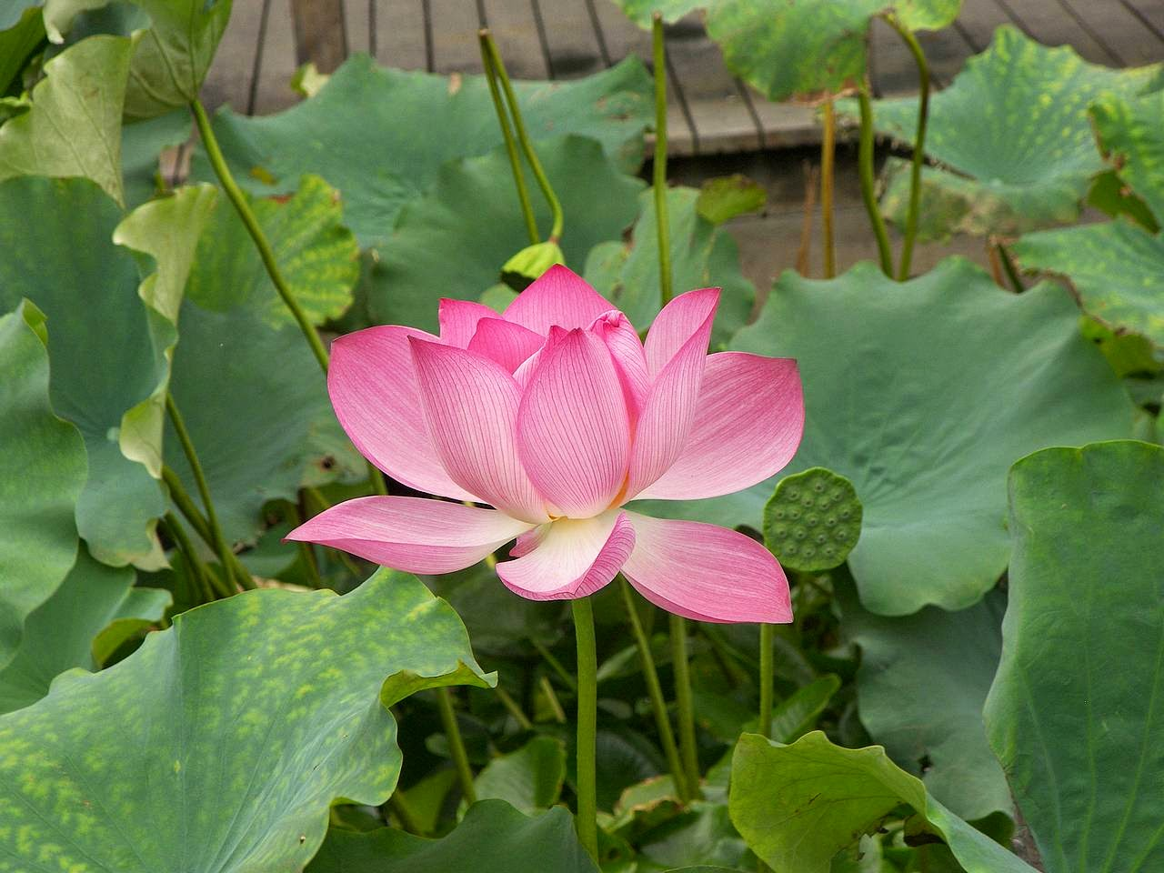 Sometimes As Mine In Garden Manfaat Dan Khasiat Bunga Lotus